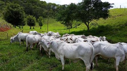 Touros, Vacas e Bezerros Brahman Belo Horizonte MG