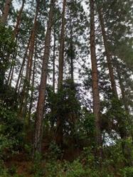 Vendo Floresta de Pinus em Santos Dumont Minas Gerais