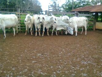 Vacas Brahman Belo Horizonte