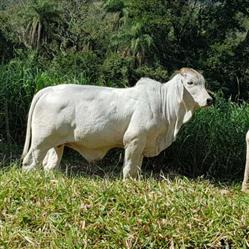 Vendo Tourinhos Brahman em BH e Minas Gerais