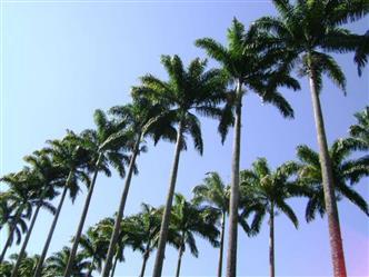Mudas de Palmeira em Belo Horizonte