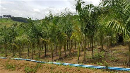 Planta Ornamental Palmeira