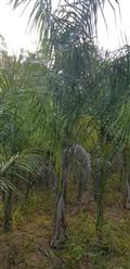 Mudas de Palmeira Imperial a venda Belo Horizonte