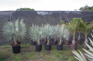 Mudas de Palmeira Bismarck Azul em  Belo Horizonte e Região