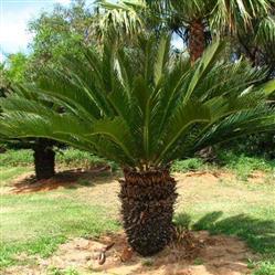 Compre Mudas de Palmeira Cica Belo Horizonte e Região