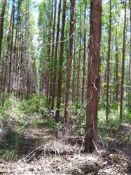 Vendo Floresta de Eucalipto em Pirapora  Minas Gerais