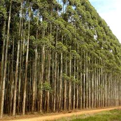 Florestas de Eucalipto acima de 1000 ha