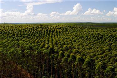 Florestas de Eucalipto em São João del Rei