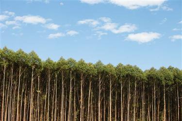 Floresta de Eucalipto a venda em Barão de Cocais