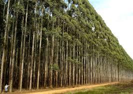 Floresta de Eucalipto a venda em Santa Barbara
