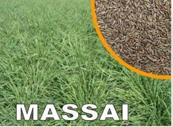Vendo Semente de Capim Massai em Mato Grosso do Sul